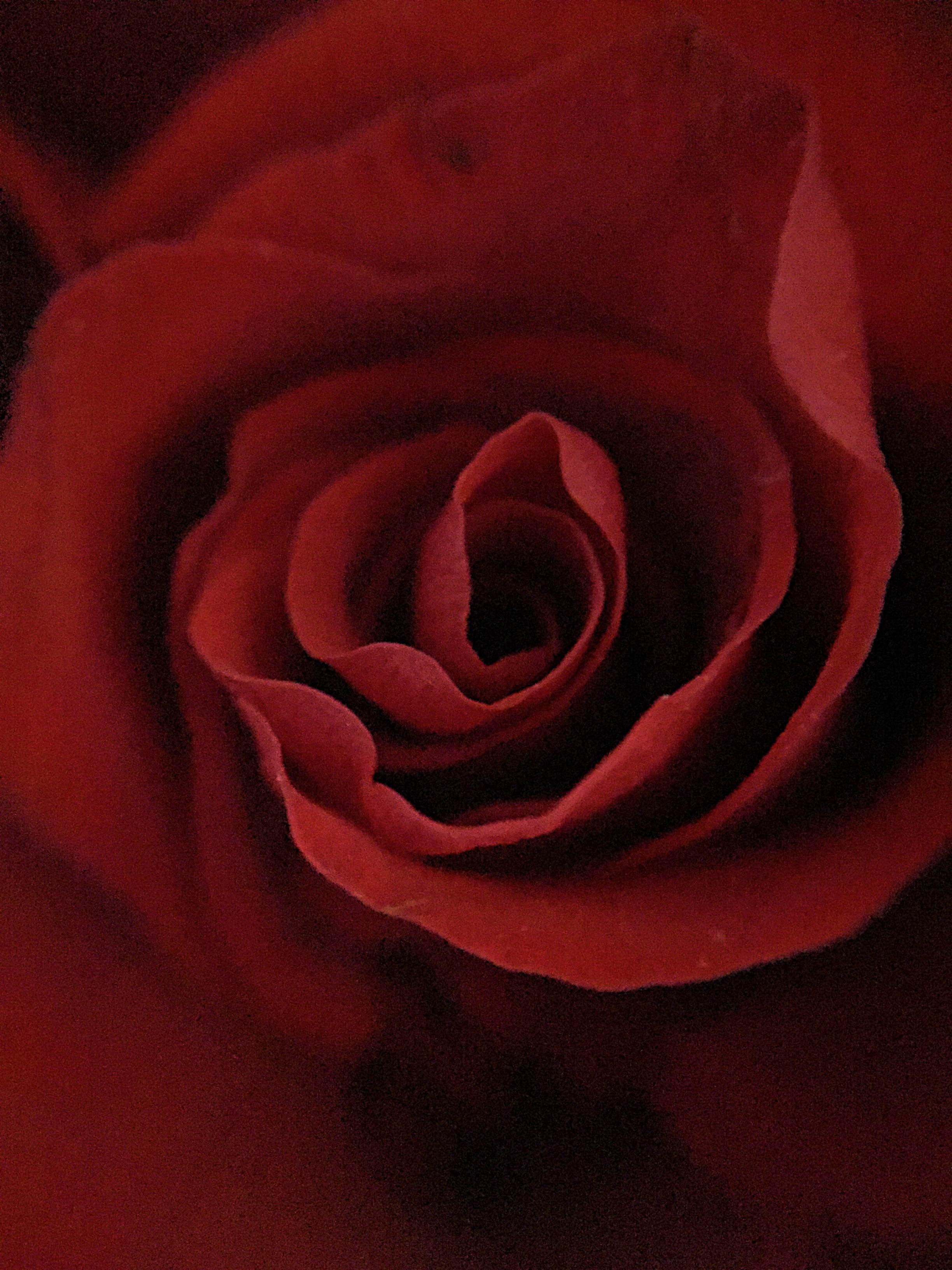 coeur-de-la-rose